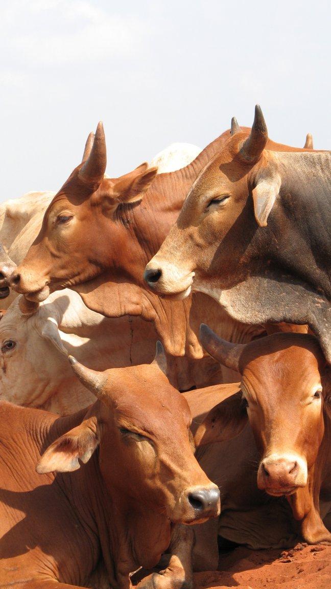 Keniaanse koeien