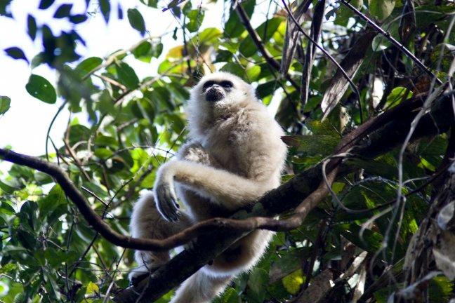 Gibbon closeup