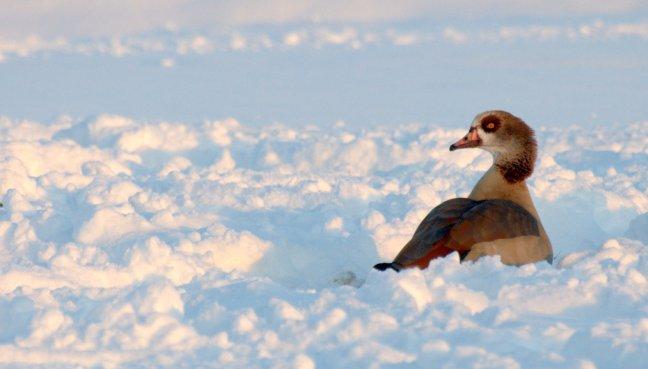 Nijlgans in de sneeuw