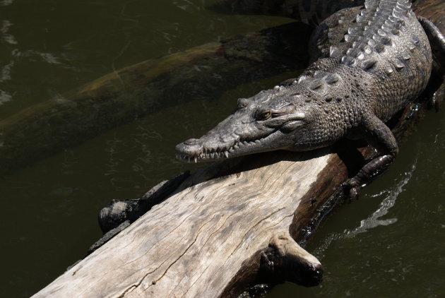 Krokodil in Black River, Jamaica