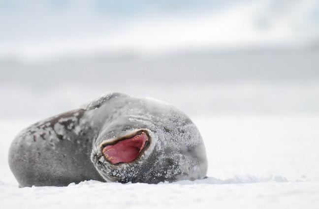 Weddell Zeehond doet lui