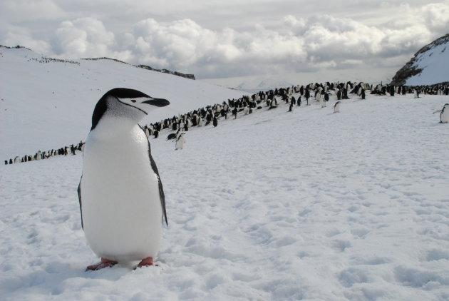 Kinband pinguin poseert voor kolonie