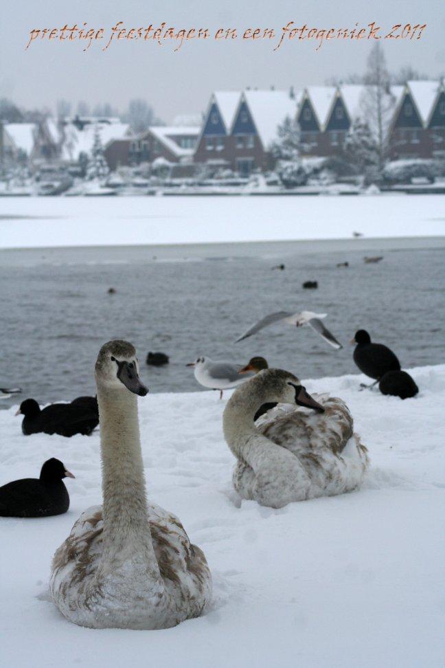 Zwanen liggen in de sneeuw alsof het zomer is