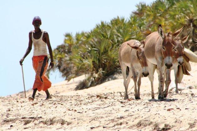 Kenia - Lamu Island - Shella beach. Alle transport gaat per ezel