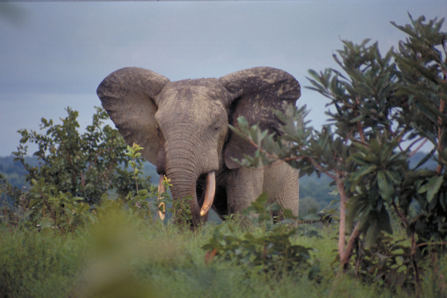 Olifant in Mole np.