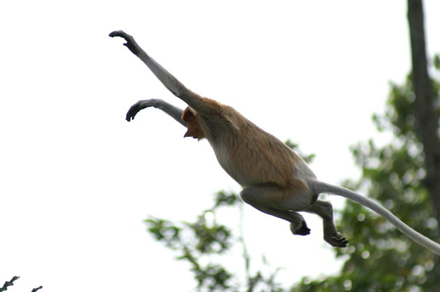 springende probiscus monkey