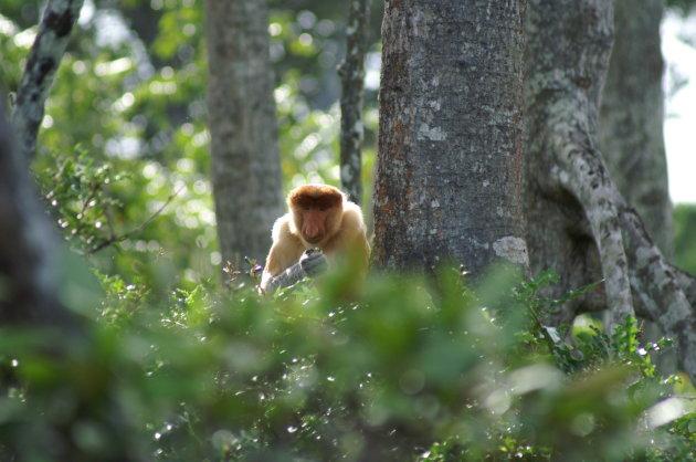 Probiscus monkey in de mangrove