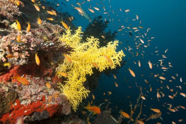 Koraal op het Zuid-Ari atol