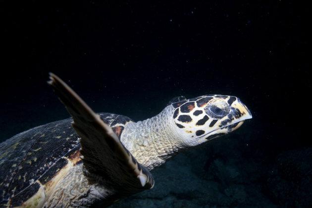 Schildpad in de nacht
