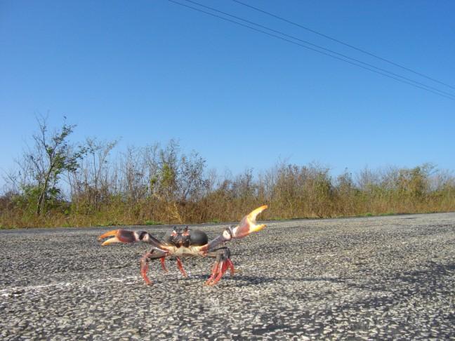 Overstekende krabben op de weg van Trinidad naar Cienfuegos (Midden Cuba)
