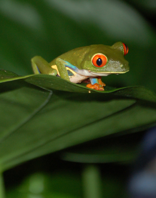 Groen kikkertje in Sarapiqui Costa Rica