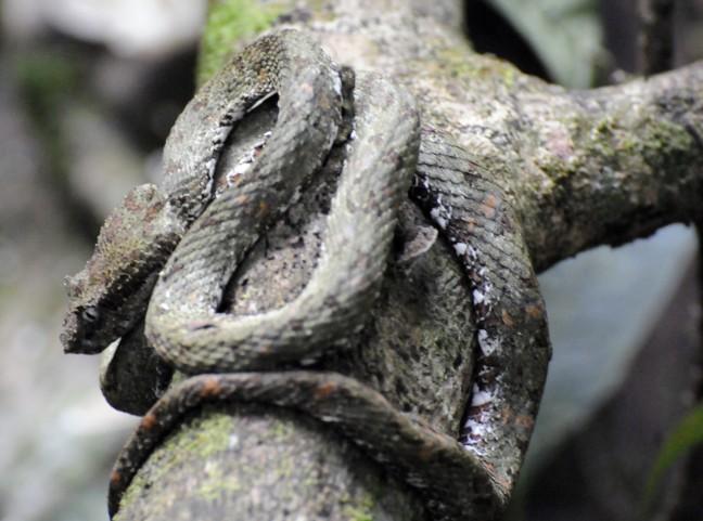 Groefkopadder een van de meest giftige slangen van Costa Rica