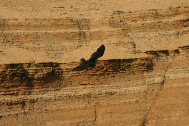 Kalkoengier in Paracas