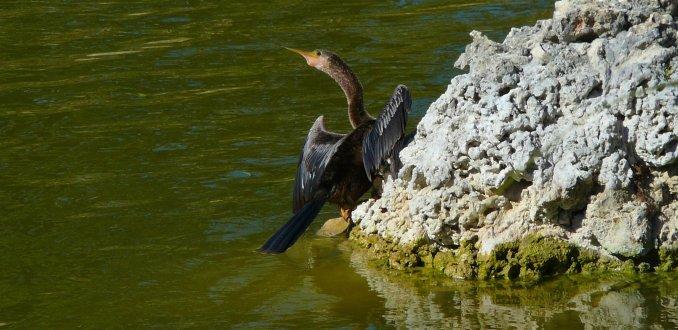 Amerikaanse slangehalsvogel (Anhinga) aan de oever van een meer