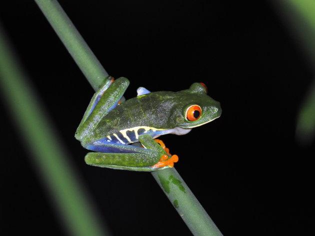 De Costa Rica kikker