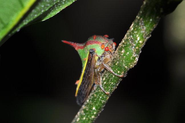 Thorn Bug Monteverde