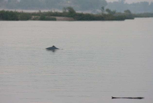 De Irrawaddy dolfijn