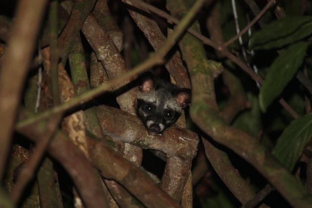 Asian Palm Civet Cat