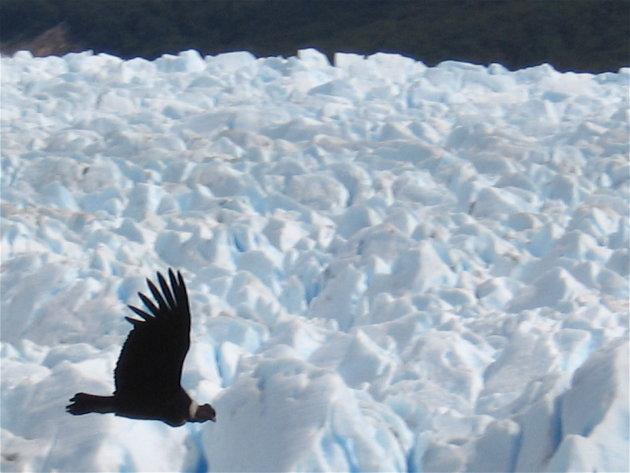 Condor boven gletsjer Perito Moreno