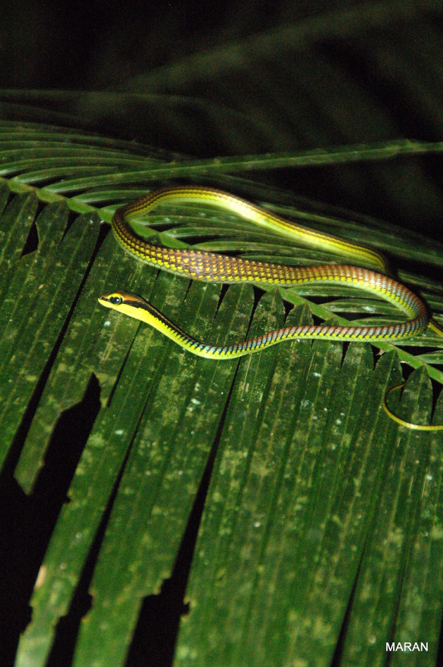 Serpentje