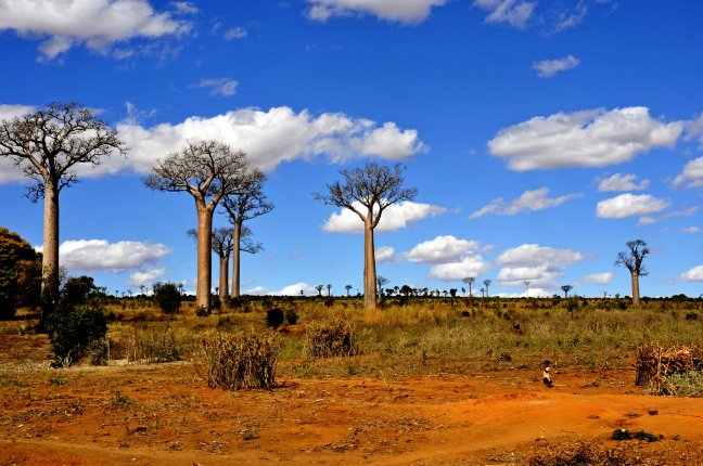 Baobabveld