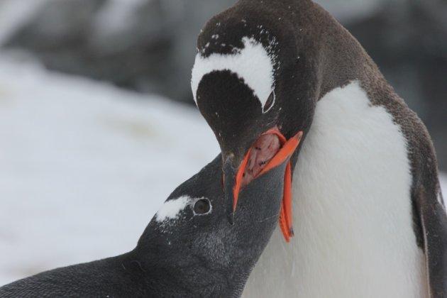 Baby-pinguin krijgt fastfood