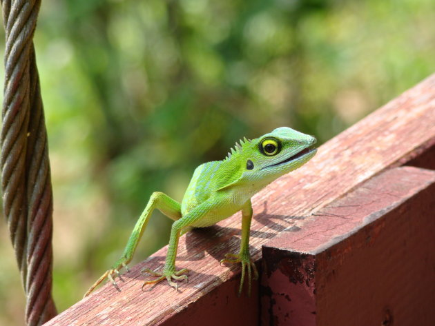 Green Crested Lizzard