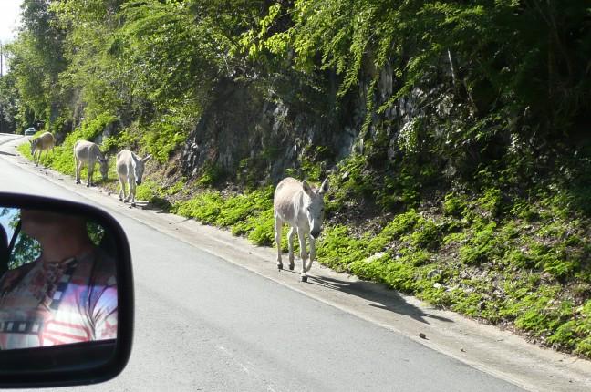 Heilige ezels op de weg in St. John
