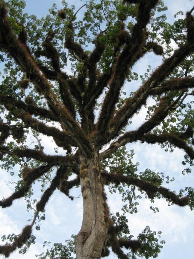 De boom van Guatemala