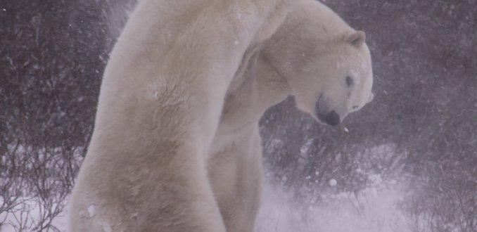 Sparrende IJsberen