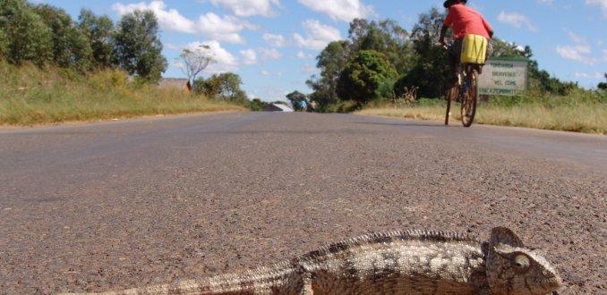 Parson's kameleon op de weg