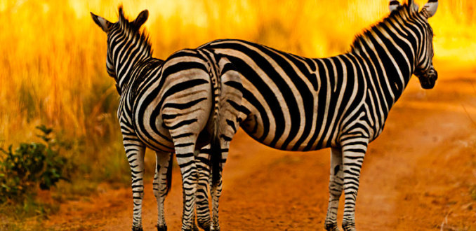 2 Zebra's