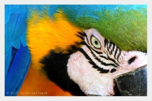Blauw gele Papagaai
