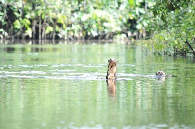 braziliaanse reuze otters