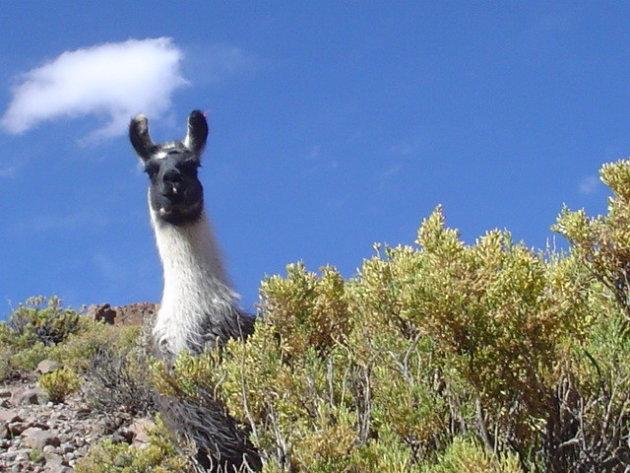 Lama komt even een kijkje nemen