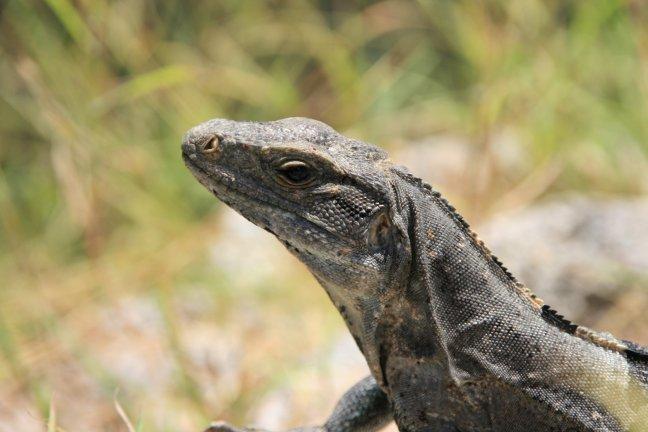 Iguana uxmal