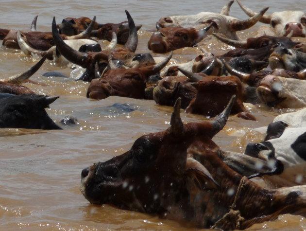 Koeien in de Niger