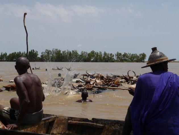 Peul en hun koeien steken de Niger over