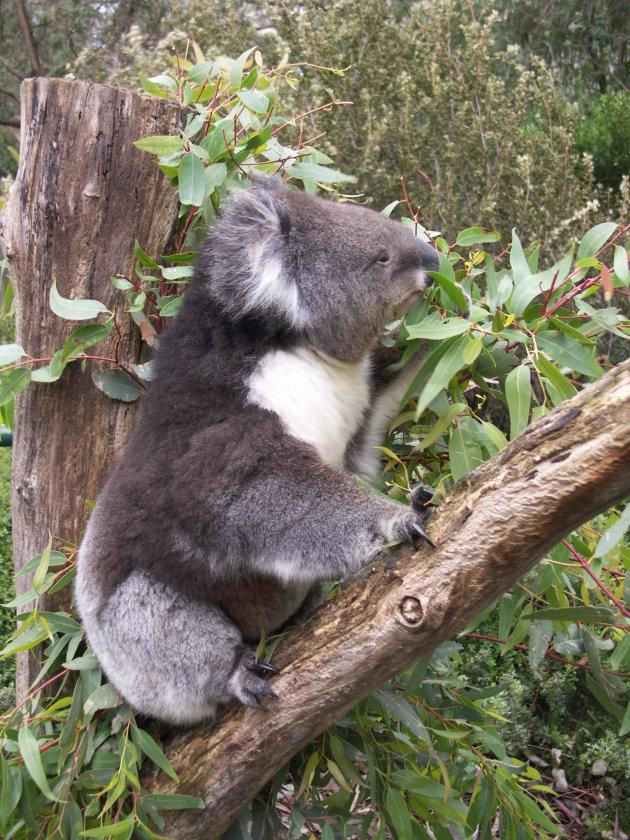 Koala net uit zijn slaap