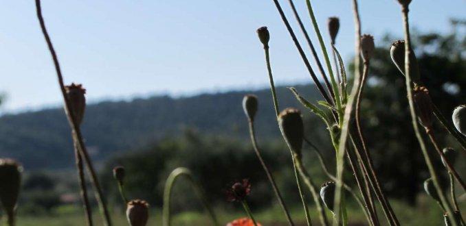 I papaveri in Toscana