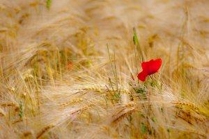 Een wilde rode roos in het graanveld