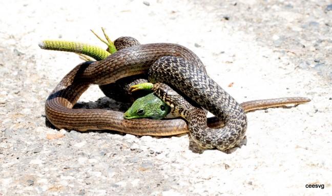 Gevecht van slang met hagedis