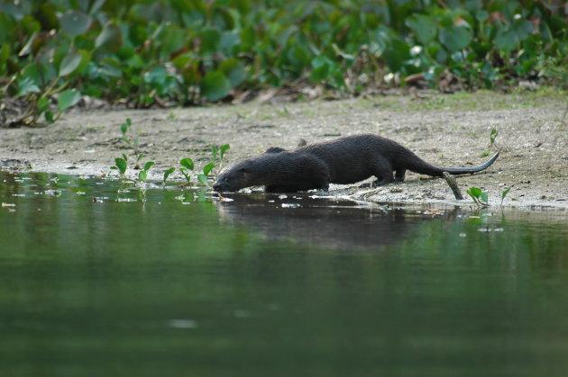 Otters in het wild...