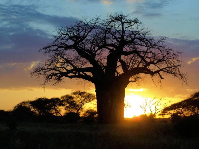 Baobab in tarangire