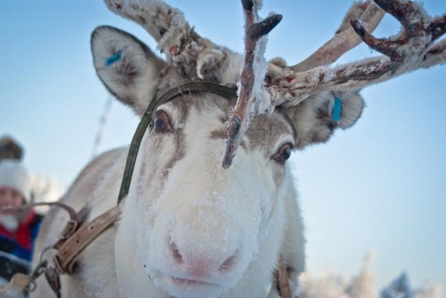 Nieuwsgierig rendier in Lapland