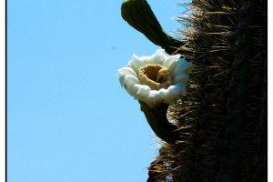 Dessertflower 3