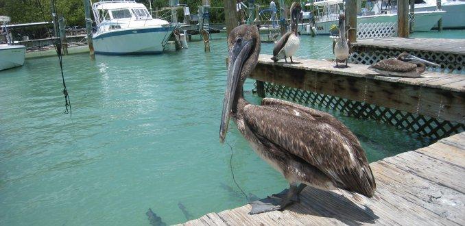 Pelikanen in haventje op de Keys, Florida