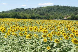 toscane zonnebloemen
