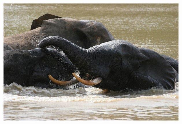 Olifanten nemen een bad