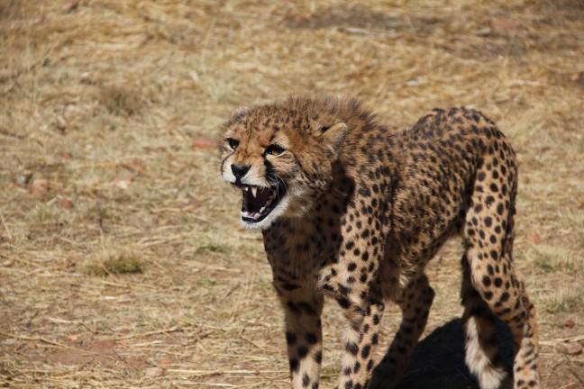 boze cheetah